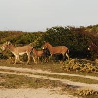 South-Caicos-Wildlife-Donkeys-(10)