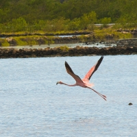 South-Caicos-Wildlife-Flamingo-(3)